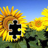 Sunflower Puzzle Icon